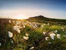 Cotton grass near Higger Tor