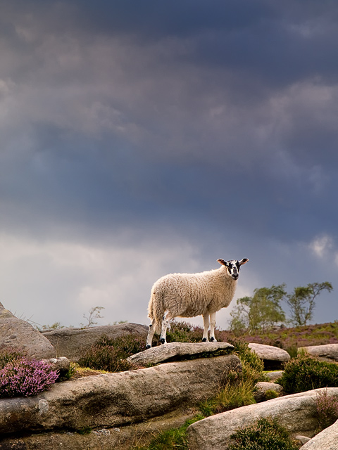 Derbyshire Lamb