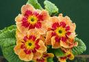 Primulae