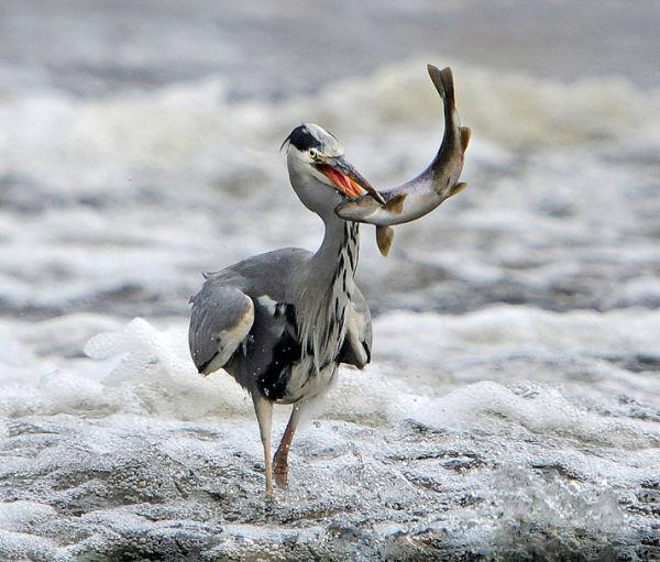 Grey-Heron