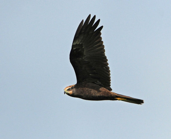 Juvenile-Marsh-Harrier
