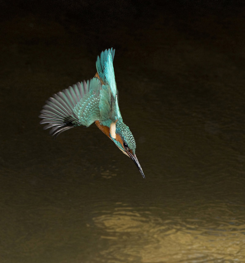 Male-Kingfisher