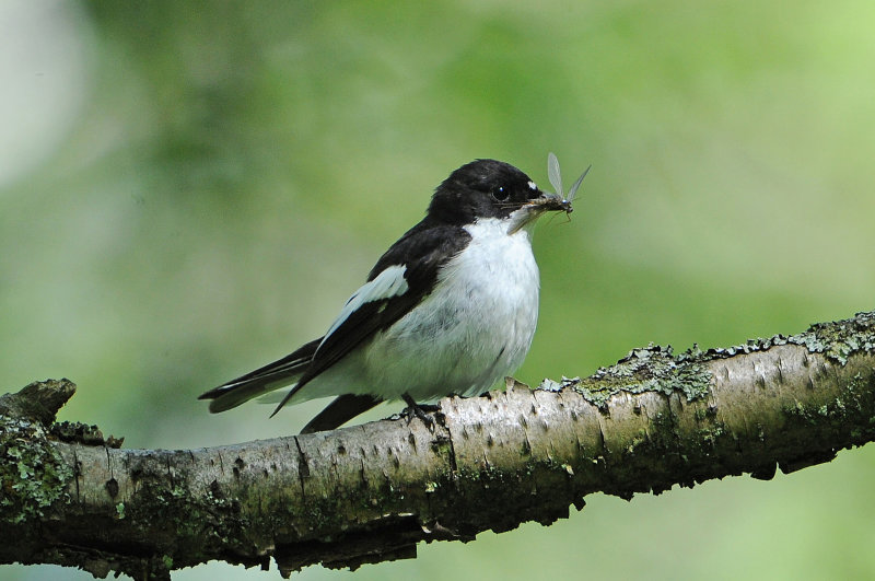Pied-Flycatcher-male