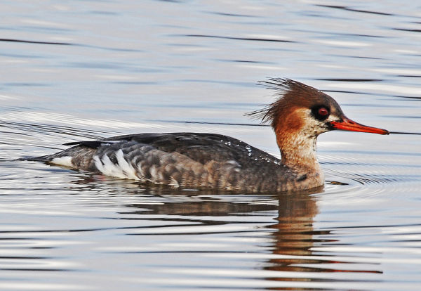 Female-Red-Breasted-Merganser