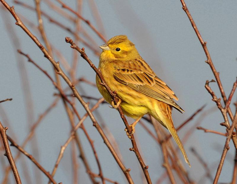 Yellow-Hammer-male
