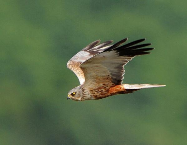 Male-Marsh-Harrier