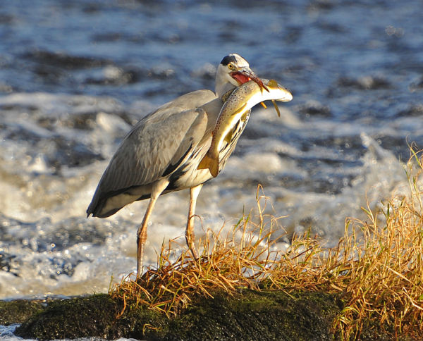 Heron-With-Brown-Trout