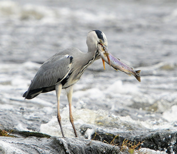 Heron-With-Sea-Trout