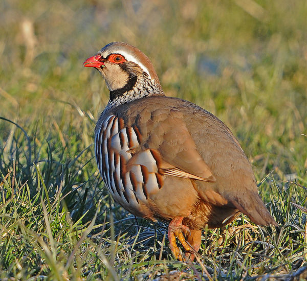 Red-Legged-Partridge