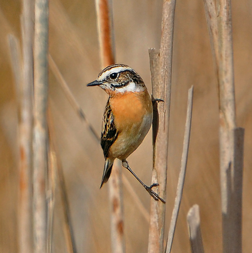 Male-Whinchat
