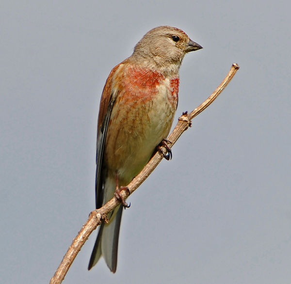 Male-Linnet