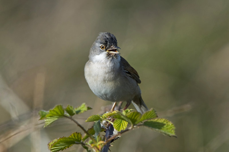 Whitethroat-male