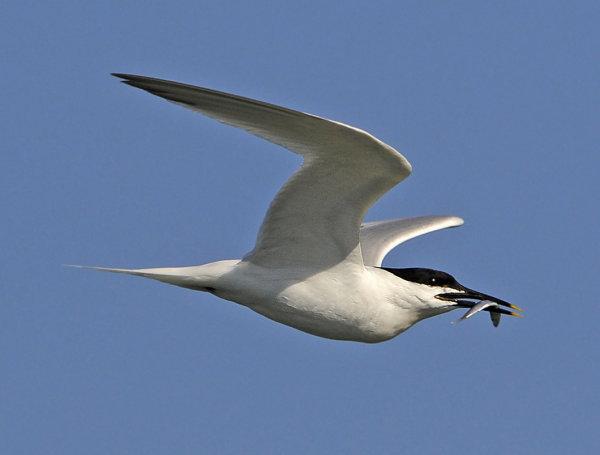 Sandwich-Tern
