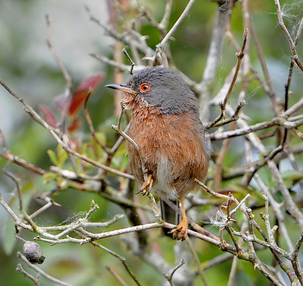 Male-Dartford-Warbler