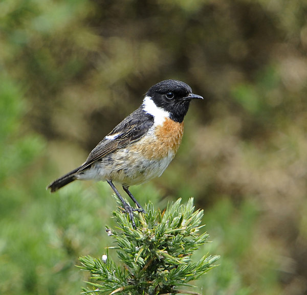 Male-Stonechat