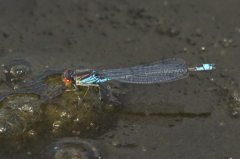 Small-Red-eyed-damselfly