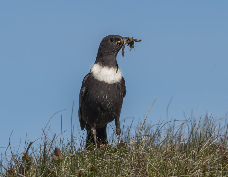Ring-Ouzel-male