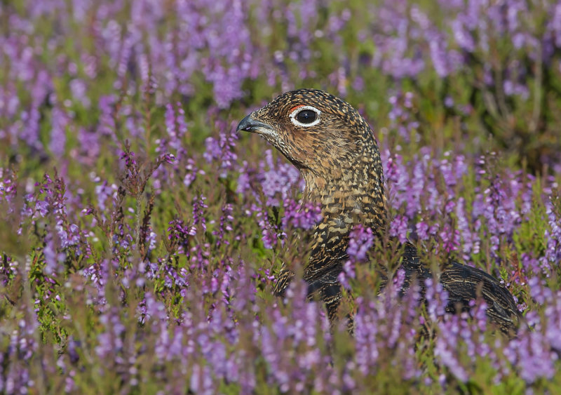 Red-Grouse-male