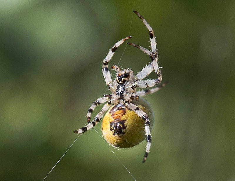 Four-Spot-Orb-Spider-female