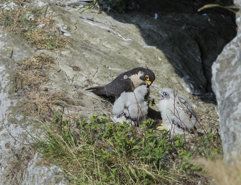 Peregrine-falcons