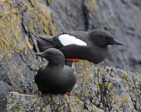 Black-Guillemots