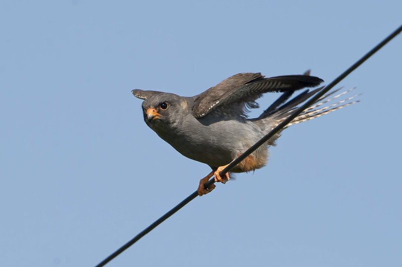 Red-Footed-Falcon-male