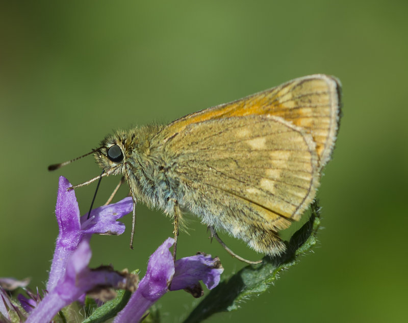 Large-Skipper