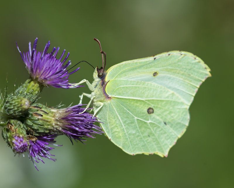 Brimstone-female