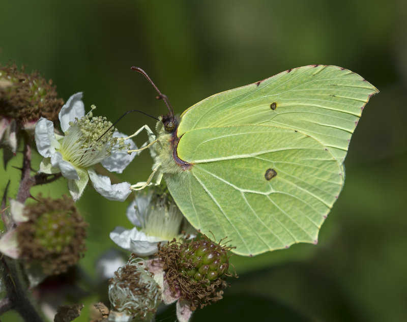 Brimstone-male