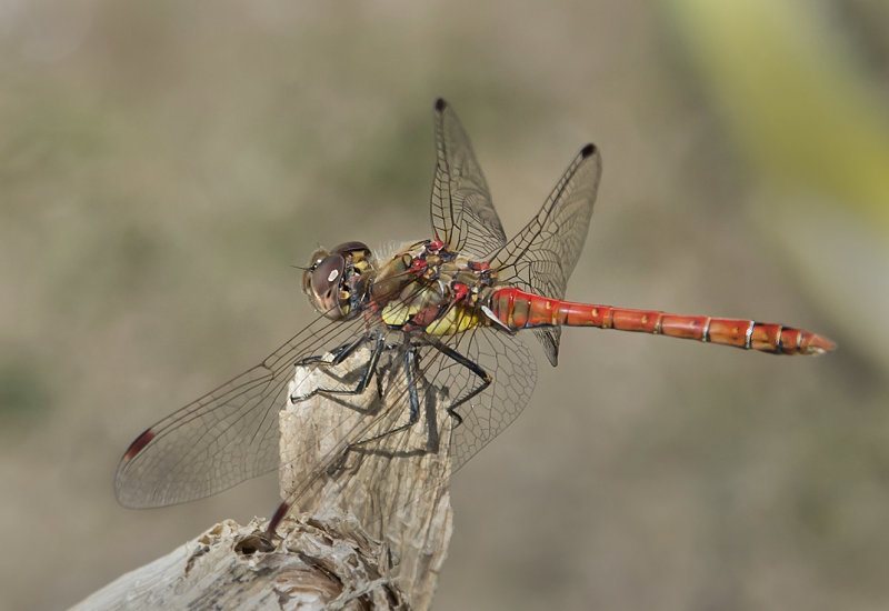 Common-Darter-male