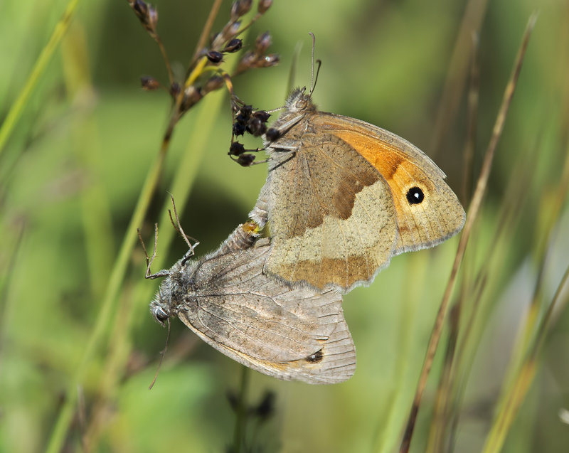 Meadow-Browns