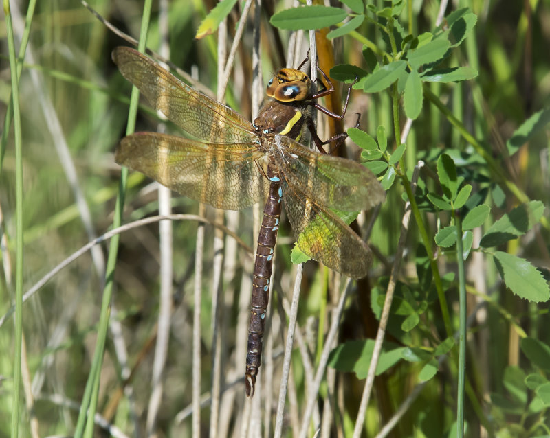 Brown-Hawker-male