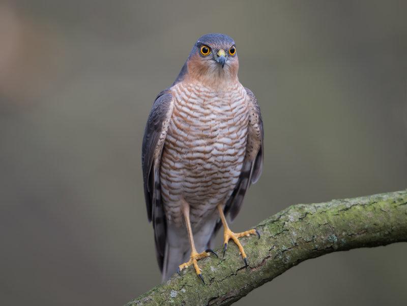 Sparrowhawk-male