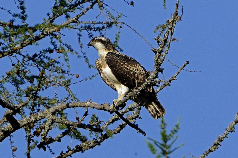 Osprey-juvenile