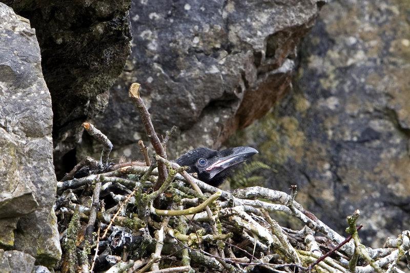 Raven-chick