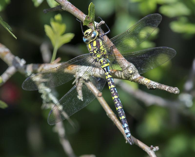 Southern-Hawker-male