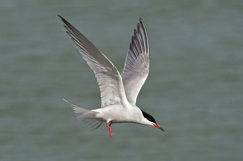 Common-Tern
