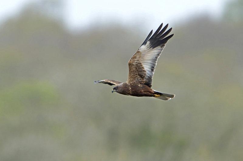 Marsh-Harrier
