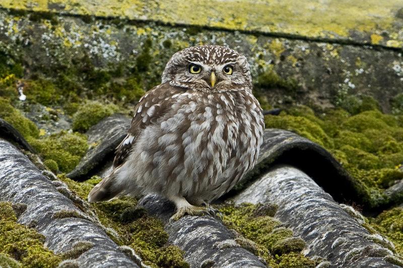 Little-Owl
