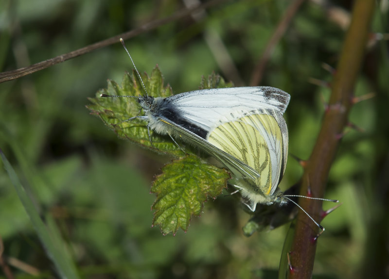 Green-veined Whites