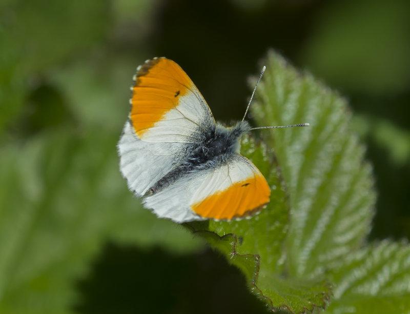 Orange-Tip-male
