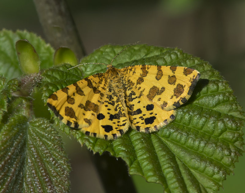 Speckled-Yellow