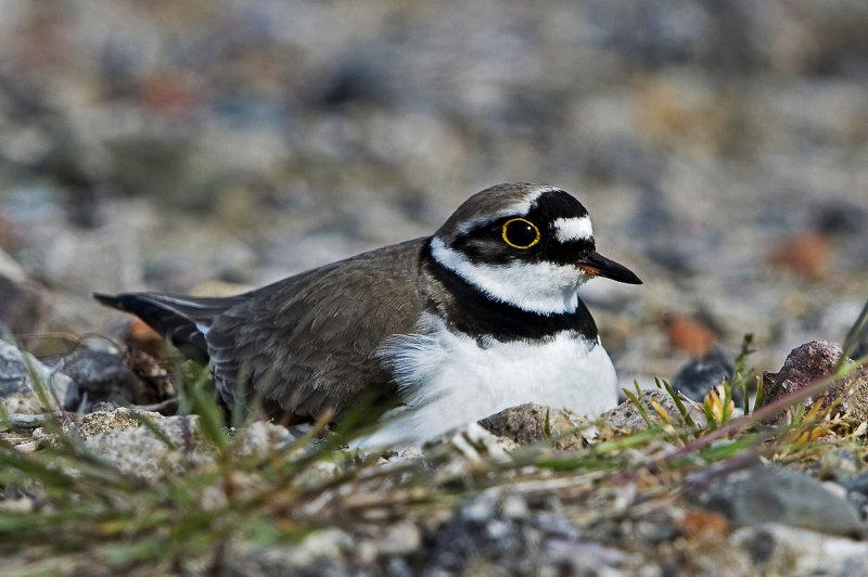 Little-ringed-plover