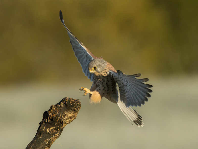 Kestrel-male