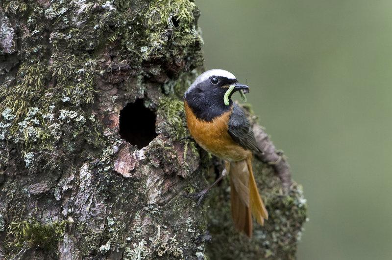 Male-Redstart