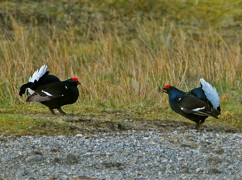 Black-Grouse-males