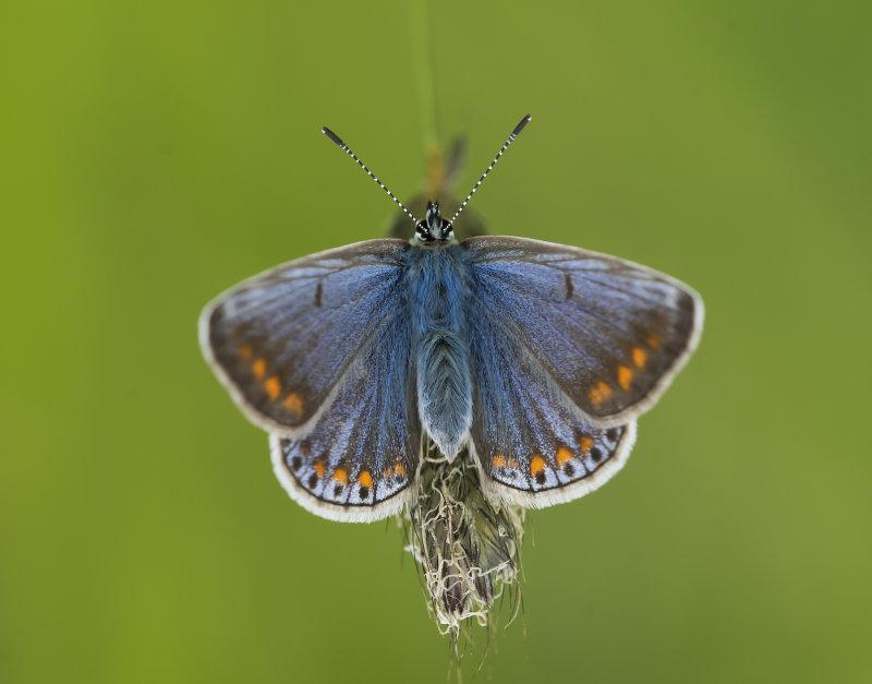 Common-Blue-female
