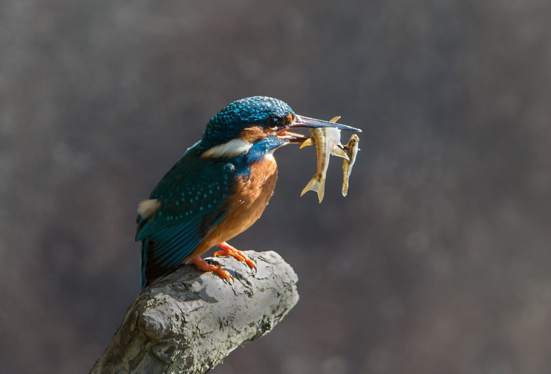 Kingfisher-male