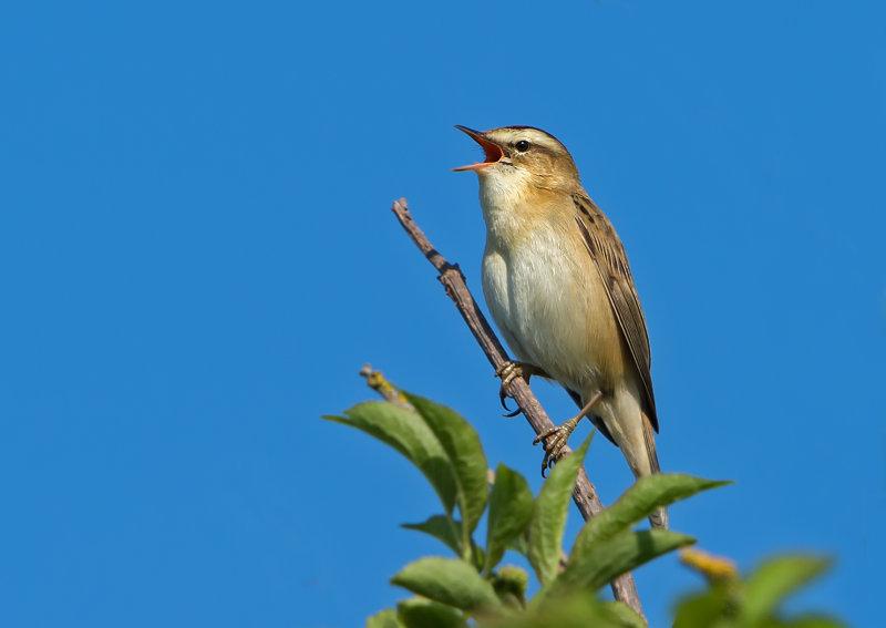 Sedge-Warbler
