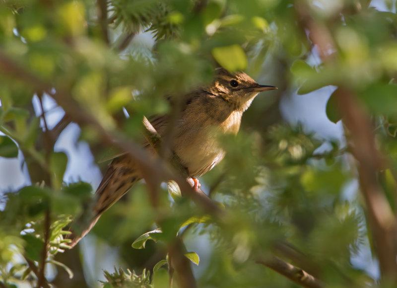 Grasshopper-Warbler